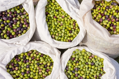 bags-of-olives-for-pressing.jpg