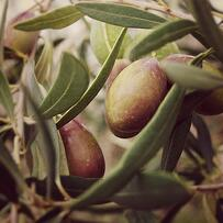 Olives_-_Close_Up_Fotor_20130411-1