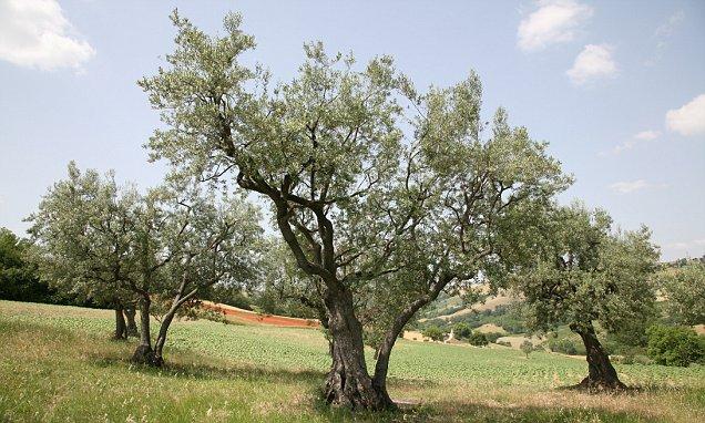 Olive Grove in Mediterranean