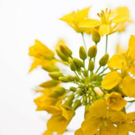 Canola Oil Flower Harvest