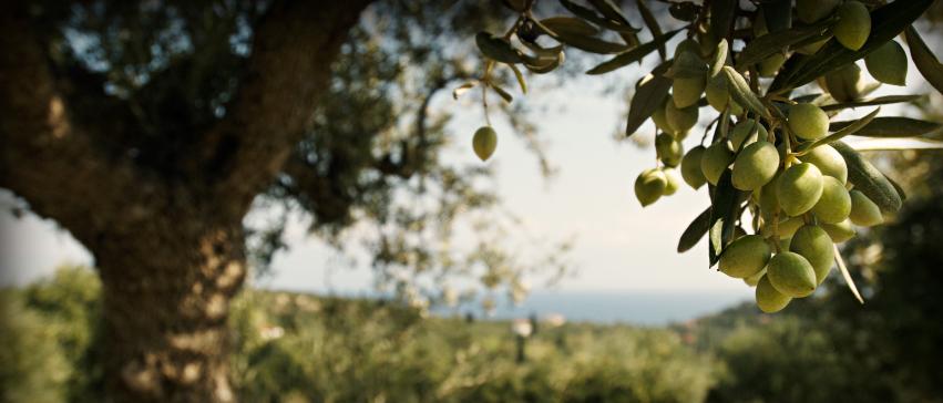 Extra Virgin Olive Oil in Bulk
