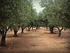 Olive Oil Commodity Market Update 2014/2015 Harvest