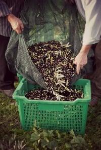 Olive Oil Harvest - Spain