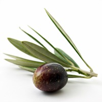 Olive-with-white-background