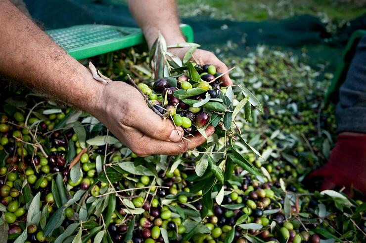 Pomace Olive Oil Production