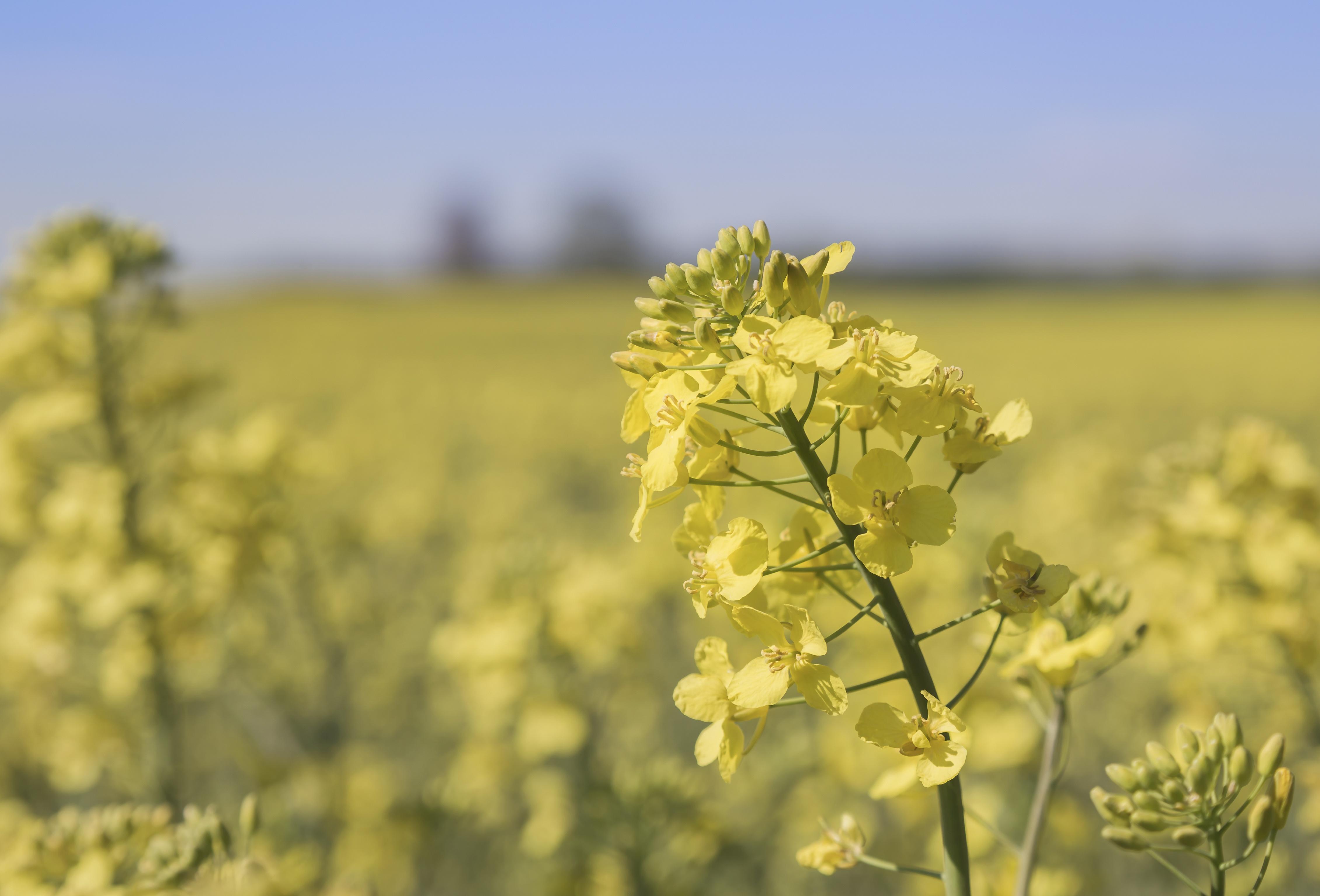 Canola is not sunflower or safflower oil