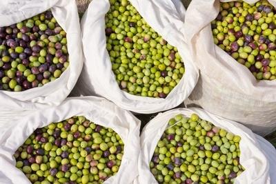 olive-oil-varities