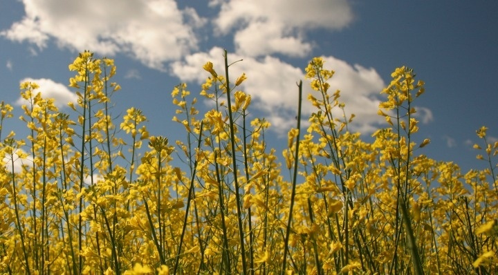what does expeller pressed canola mean