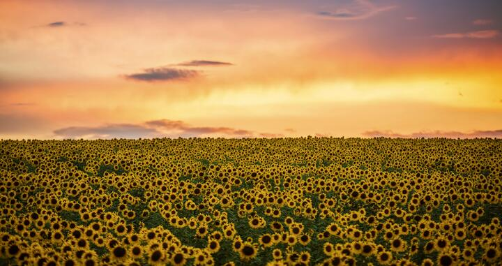 Sunflower Oil vs Canola Oil: What's The Difference?